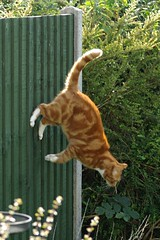 Cat Jumping Off Fence (Spongefingers) Tags: cat fence garden ginger flying jump jumping action tabby marmalade tomcat