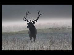 Fogged In (csnyder103) Tags: wild silhouette fog wildlife northcarolina explore layers 16 elk soe smokymountainnationalpark cataloochee impressedbeauty