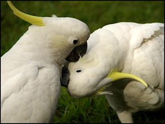 Making out in the park (Brian Nordlund) Tags: bird nature kiss pentax sydney australia nsw newsouthwales lovebirds cockatoo k10d