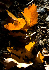 Autumn leaves are falling (Theresa Elvin) Tags: autumn brown macro forest golden oak woods autumnleaves forestfloor nottinghamshire clumberpark supershot oakleave mywinners abigfave platinumphoto anawesomeshot colorphotoaward theunforgettablepictures top20autumn goldstaraward natureselegantshots rubyphotographer