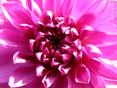 Pink Dahlia (Rick & Bart) Tags: pink dahlia friends flower macro nature flora blossom bloem smrgsbord botg diamondclassphotographer flickrdiamond theunforgettablepictures theunforgettablepicture rickbart awesomeblossoms rickvink