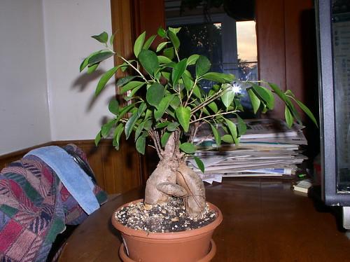 FicusBon08