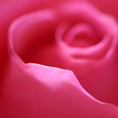 subtlety... (janoid) Tags: pink flower beautiful rose lovely bighugs xoxo excellence thinkingofyou frommygarden xoxoxoxo haveagreatweek imissmyroses haveawonderfulweek janoidmagic janoidsstyle yepthatspink tttttttttttttttttttttttttttttttt hugstobella whataimpressivesensuousdetailjan afterstaringatyourphotographyformorethanafewminutesimquicklyseeingheartsineverything thisiscontagious isitjustmeoristhewholethingaheart