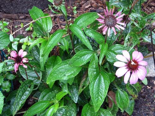 Echinacea rebloom