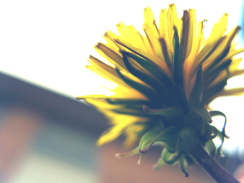 Dandelion:  October 16, 2008