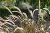 Backlit Fountain Grass (Daniel Greene) Tags: morning macro meetup weekend farm flickrmeet thefarmatsouthmountain upcoming:event=981998