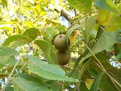 Walnut tree leaves and fruit (TexasFlora.com) Tags: plant black flower tree leaves fruit flora texas walnut nuts