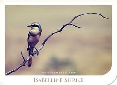 Isabelline Shrike (Hamad Al-meer) Tags: tree bird canon eos desert hd creature hamad tone 100400mm shrike 30d   isabelline aplusphoto    hamadhd hamadhdcom wwwhamadhdcom flickrlovers