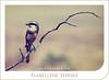 Isabelline Shrike (Hamad Al-meer) Tags: tree bird canon eos desert hd creature hamad tone 100400mm shrike 30d حمد طيور isabelline aplusphoto اشول المير غصن hamadhd hamadhdcom wwwhamadhdcom flickrlovers