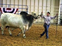 100 Things to see at the fair #81: Bull judging