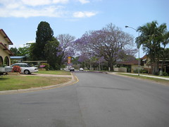 Jacarandas on Tomah Rd (David Barrett1) Tags: tree jacaranda