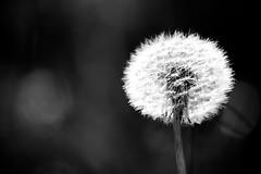 Dandelion (mgratzer) Tags: dandelion tanpopo showonmysite