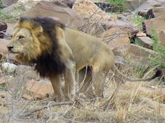Push! (Jacques S G) Tags: africa travel ariel nature animals cat southafrica mammal feline tour leo lion safari predator krugernationalpark mpumalanga carnivore reise leeuw pantheraleo largepersonalisedtourssafaris photosfrombhubezijake