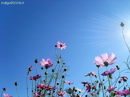波斯菊 (by indigo@Taiwan)