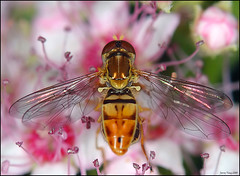 Syrphid Fly (Jerry Ting) Tags: bigmomma challengeyouwinner onlythebestare vosplusbellesphotos