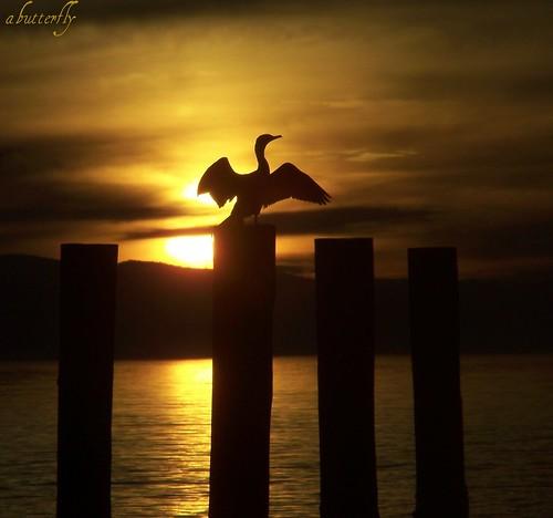 A Cormorant Evening