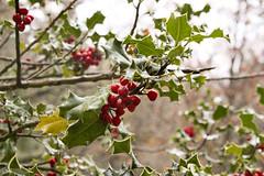 acebo (CRuiz (gosito)) Tags: arboles kdd ucieda