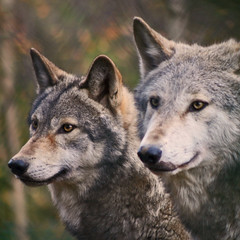 Grey Wolves (Gary's Photos!!) Tags: ireland dog eye dogs nature animal canon fur mammal nose photography eos grey photo big scary paw wolf foto fierce wildlife teeth gray bad conservation canine ear celtic endangered lupus graywolf wolves gentle howl carnivore protected 30d phoenixpark greywolf canis dublinzoo goldenglobe canislupus blueribbonwinner threatened chordata canidae digitalcameraclub supershot garywilson naturesgallery abigfave anawesomeshot baileathcliath impressedbeauty aplusphoto diamondclassphotographer flickrdiamond naturewatcher goldstaraward thebestofday gnneniyisi itsazoooutthere qualitypixels damniwishidtakenthat flickrlovers vosplusbellesphotos naturescreations flickrsmasterpieces
