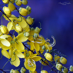 Cassia Golden Shower Tree (Ingrid Douglas Images - ART in Photography) Tags: ingrid oz images douglas yellowflowers cassia australianflora explored goldenshowertree tropicalfloweringplants