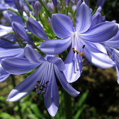 True Blue, Adelaide _0990_2 (Rikx) Tags: blue flower beautiful garden interesting australia explore adelaide agapanthus southaustralia agapanthusafricanus damncool onexplore naturesfinest canona530 abigfave naturemasterclass