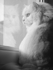 Reflection (mauzlover) Tags: bw white reflection window cat persian emily feline kitty cologne katze emilly bestofcats mauzlover