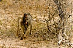 20081112__MG_0568 (Ricoons) Tags: elephant lion pretoria swaziland rhinoceros soweto kruger godswindow girafe santalucia bigfive blyderivercanyon ndebele buffle ermelo hippopotame hluhluwe pilgrimsrest umfolozi johanesburg afriquedusud voortrekkermonument mbabane threerondavels bourkesluckpotholes ricoons