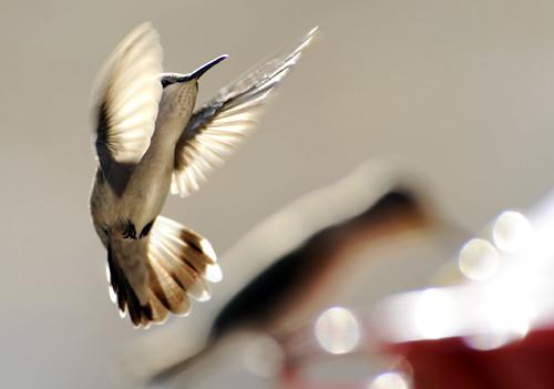 Avian Acrobat / Deby Dixon