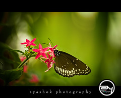 A Birthday Butterfly (ayashok photography) Tags: birthday india zoo for nikon floor bangalore 6th nandini butterflypark bannergatta nikonstunninggallery nikond40 ayashok nikor55200mm 17thmarch2009