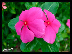 Magenta Catharanthus roseus (Madagascar Periwinkle) with red eye, around our neighbourhood, May 2009