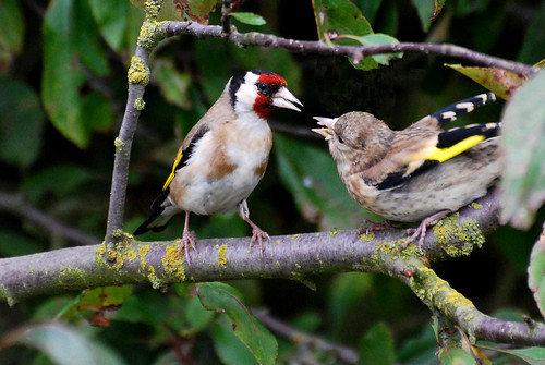 Goldfinch feeding baby.