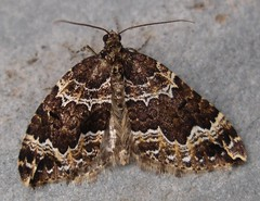 Water carpet moth flying in my office on 26/4/10