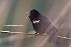 _53F5670 Red-winged Blackbird (male) (~ Michaela Sagatova ~) Tags: bird nature fauna dundas nesting redwingedblackbird agelaiusphoeniceus birdphotography michaelasagatova