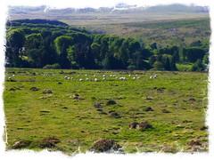 Sheep Circles