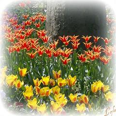 Dreamy Turkish Tulips - ISTANBUL '07 (Kuzeytac) Tags: red orange flower colour green nature yellow turkey geotagged spring trkiye turkiye istanbul tulip geotag leyla bahar iek yeil sar lsi lale gulhane krmz portakal sarayburnu doa tabiat hpphotosmartm425 turkishtulip kuzeytac copyrightedallrightsreserved aqualityonlyclub