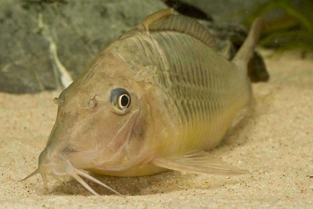 ... : Catfish shootout! Brochis multiradiatus and Corydoras simulatus