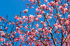 Pink & Blue (olvwu | 莫方) Tags: morning pink blue sky usa flower macro closeup ga georgia cherry spring downtown cherryblossom sakura savannah 櫻花 春 春天 jungpangwu oliverwu oliverjpwu olvwu canonef100mmlens jungpang 莫方 吳榮邦