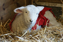 Kinder Farm Park (Eric E Haas) Tags: animals sheep maryland millersville kinderfarmpark annearundelcounty sony75300mm sonydslra700