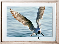 Through the Gates of the Silver Key (Firenzesca) Tags: sea flying 3d seagull picture quadro diagonal frame hplovecraft gabbiano cornice pulcinella outofbounds oob blueribbonwinner aplusphoto superbmasterpiece flickrdiamond platinumheartaward dragongoldaward