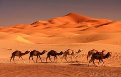 Sahara (LucaPicciau) Tags: africa shadow sahara train sand shadows dunes ombra ombre arena camel morocco shade maroc marocco caravan duna camels deserto sabbia erg africano merzouga rissani lupi deserti chebbi  desertscape carovana cammelli dromedari picciau lucapicciau