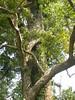 96.11.16竹崎鄉光華村茄苳風景區內的茄苳老樹DSCN3207