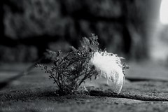 Light as a feather. (lindseyy.) Tags: blackandwhite bw white plant weed dof random bokeh pavement feather crack caught