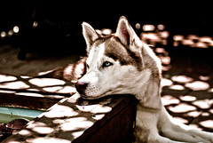 Lazy (Jesse James Photography) Tags: dog animal photoshop nikon husky siberianhusky nikkor 8020028 adobelightroom nikond80