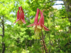 Wild Columbine or Honeysuckle