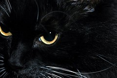 Kitty... was a Panther in a Previous Life.... (Shawn's Kitty (Busy Healing!)) Tags: iris bw black eye cat nose gold golden feline moody kitty whiskers tuxedo stare panther pupil annoyed grrrrr femalelion bej impressedbeauty byshawnleimbach