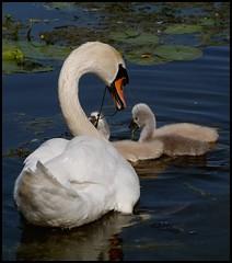 Feeding time (Kirsten M Lentoft) Tags: birds swan cygnets xoxoxoxoxox momse2600 avianexcellence theunforgettablepictures trueessence mmmmmuaaahhhhhhhh kirstenmlentoft