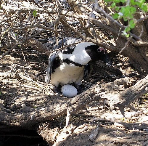 South African penguin and egg