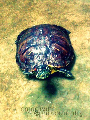 turtle species