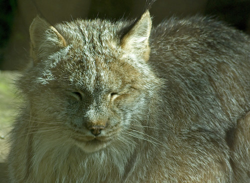 Sleepy Bobcat