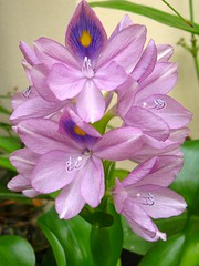 Water hyacinth -   (yoel_tw) Tags: waterhyacinth naturesfinest blueribbonwinner abigfave exquisiteflowers