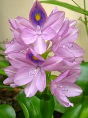 Water hyacinth - יקינתון מים (yoel_tw) Tags: waterhyacinth naturesfinest blueribbonwinner abigfave exquisiteflowers יקינטוןמים יקינתוןמים